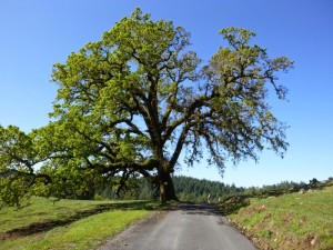 This oak was just awesome. Photo: M. Arnold