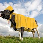 cow-coat04