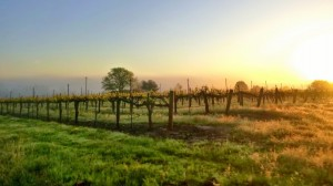 Early AM in wine country. Photo: P. Herlihy