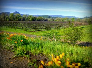 Poppies and vines. Photo: P. Herlihy