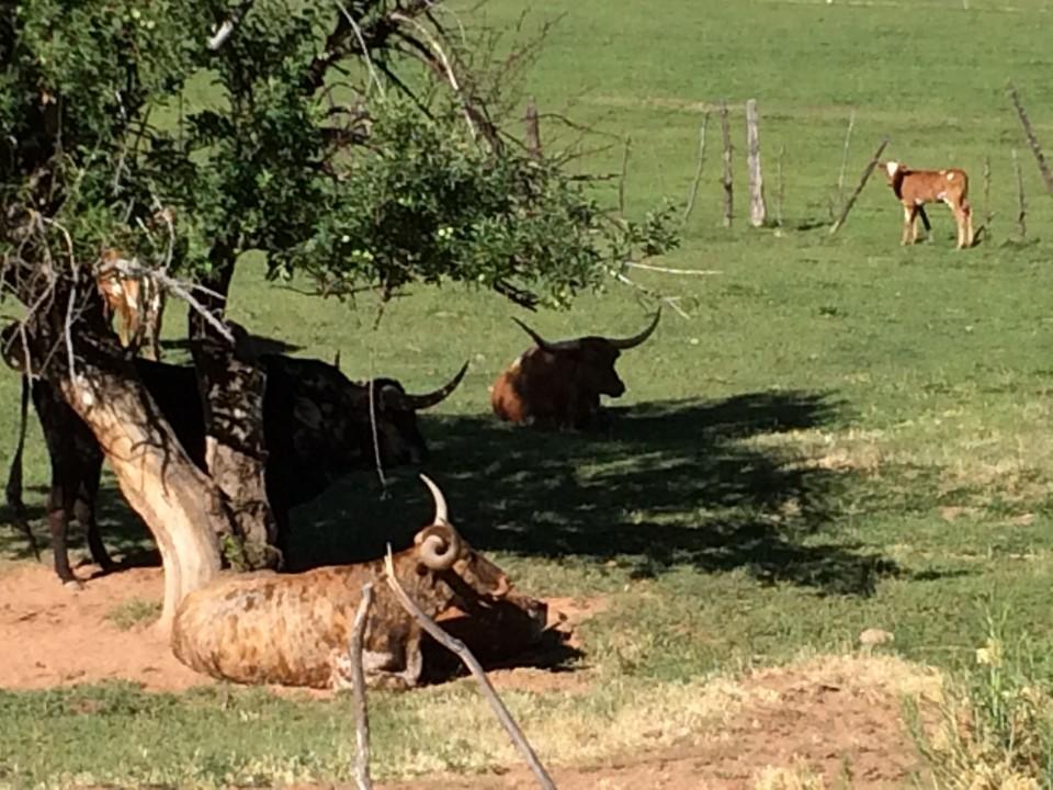 Lounging Longhorns